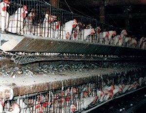 ChickensInBatteryCageslg