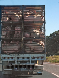 pigs in truck
